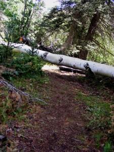 Fallen Aspen