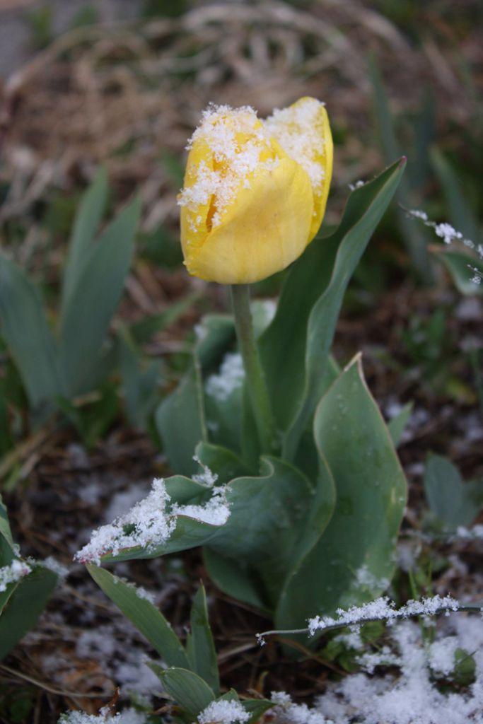 TulipSnow2