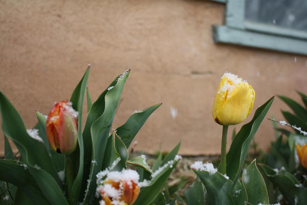 TulipSnow3