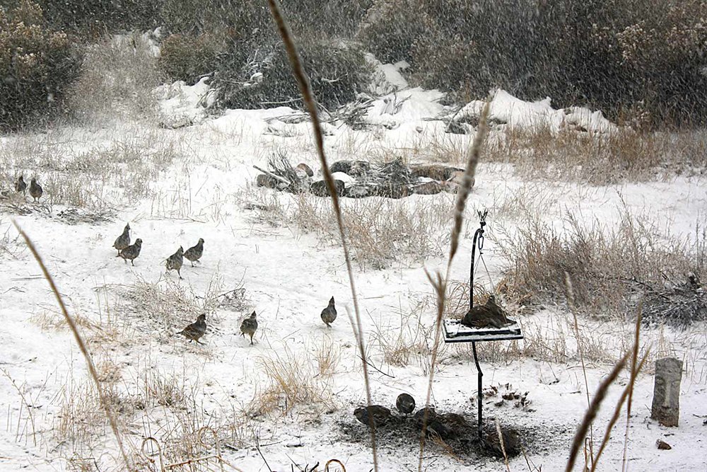 Quail_snow